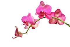 Rosafarbene Orchidee Lizenzfreie Stockbilder