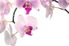 Rosafarbene Orchidee Lizenzfreie Stockfotografie