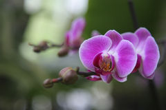 Rosafarbene Orchidee Stockfotografie