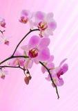 Rosafarbene Orchidee Lizenzfreies Stockfoto