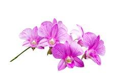 Rosafarbene Orchidee auf Weiß Stockbild