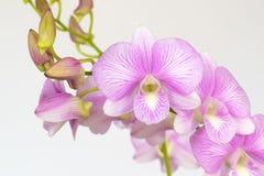 Rosafarbene Orchidee auf weißem Hintergrund lizenzfreies stockbild