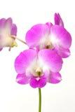 Rosafarbene Orchidee auf weißem Hintergrund lizenzfreie stockfotos