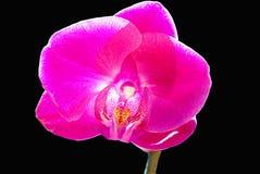 Rosafarbene Orchidee-Blume stockbilder