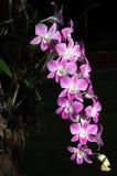 Rosafarbene Orchidee der Schönheit Lizenzfreies Stockfoto