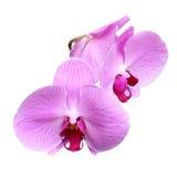 Rosafarbene Orchidee getrennt auf Weiß Stockfotografie