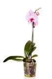 Rosafarbene Orchidee getrennt auf weißem Hintergrund stockbild