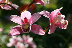 Rosafarbene Orchidee im Garten Lizenzfreies Stockbild