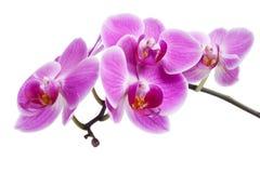 Rosafarbene Orchidee trennte Lizenzfreies Stockfoto