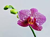 Rosafarbene Orchideeblüte Stockfotografie