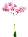 Rosafarbene Orchideeblume Stockfotos