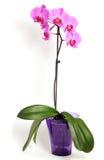 Rosafarbene Orchideeblume Lizenzfreies Stockfoto
