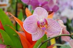 Rosafarbene Orchideeblume in der Blüte stockfotos