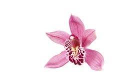 Rosafarbene Orchideeblume getrennt auf Weiß Stockbild
