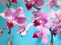 Rosafarbene Orchideeblumen Stockfoto