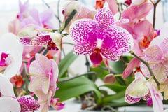 Rosafarbene Orchideeblumen Stockfotos