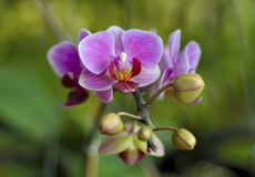 Rosafarbene Orchideeblumen Stockfotografie