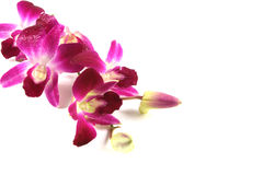 Rosafarbene Orchideen. Lizenzfreie Stockbilder