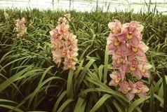 Rosafarbene Orchideen in einem Gewächshaus Stockbild