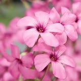 Rosafarbene oxalis Stockfoto
