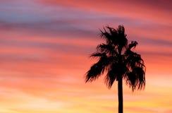Rosafarbene Palme Stockfoto