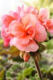 Rosafarbene Pelargonie Lizenzfreies Stockfoto