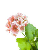 Rosafarbene Pelargonie Lizenzfreie Stockbilder