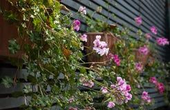 Rosafarbene Pelargonie Stockfotografie