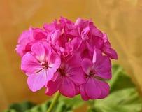 Rosafarbene Pelargonie Lizenzfreies Stockbild