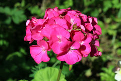 Rosafarbene Pelargonie Lizenzfreie Stockfotografie