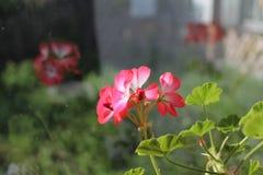 Rosafarbene Pelargonie stockfotos
