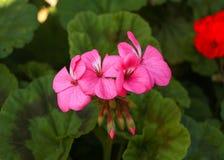 Rosafarbene Pelargonie Stockbild