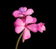 Rosafarbene Pelargonie auf Schwarzem Stockfoto