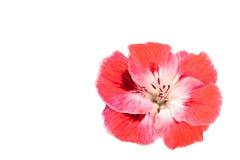 Rosafarbene Pelargonie-Blume getrennt Stockfotos