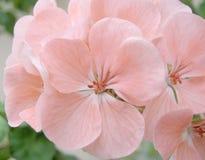 Rosafarbene Pelargonie der Blüte Lizenzfreie Stockfotografie