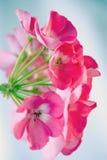 Rosafarbene Pelargonie von der Seite Lizenzfreie Stockfotos