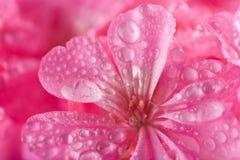 Rosafarbene Pelargonieblumen mit Wassertröpfchen Stockbild