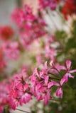 Rosafarbene Pelargonien. stockbilder