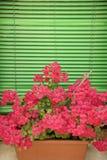 Rosafarbene Pelargonien auf Fensterrahmen. lizenzfreies stockfoto
