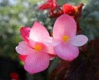 Rosafarbene Petunie Lizenzfreies Stockbild