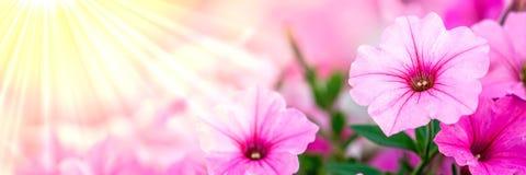 Rosafarbene Petunieblumen stockfotografie
