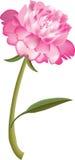 Rosafarbene Pfingstroseblume Stockfoto