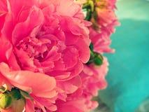 Rosafarbene Pfingstroseblume Lizenzfreies Stockbild