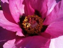 Rosafarbene Pfingstroseblume Lizenzfreie Stockbilder