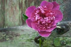 Rosafarbene Pfingstroseblume Lizenzfreie Stockfotografie