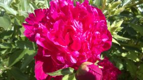 Rosafarbene Pfingstroseblume Stockbild