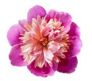 Rosafarbene Pfingstroseblume getrennt Lizenzfreie Stockfotos