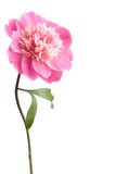 Rosafarbene Pfingstroseblume getrennt Stockfotos