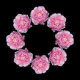 Rosafarbene Pfingstroseblumen Lizenzfreie Stockfotografie