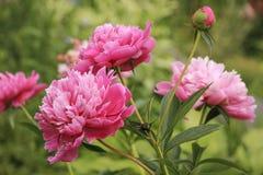Rosafarbene Pfingstroseblumen Lizenzfreies Stockbild